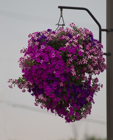 Hanging basket of purple flowers with pink in the center on a city street.