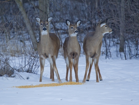 Three Whitetail Deer, doe and two fawns, on the alert while eating corn in the winter. photo