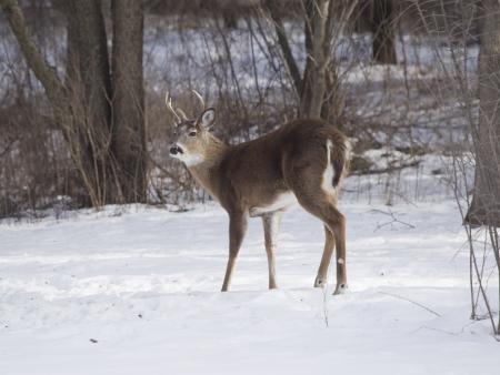 venado cola blanca: Un ciervo de tres puntos Whitetail que se coloca en la nieve en día de invierno Wisconsin. Foto de archivo