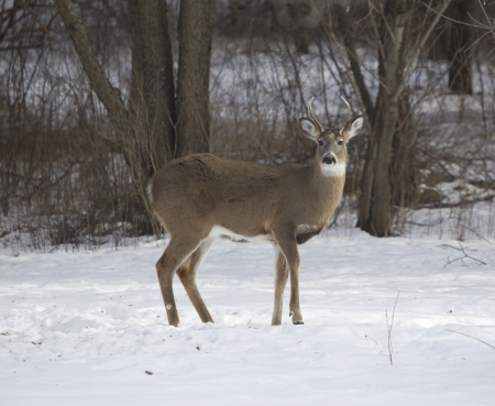 broadside: A three point Whitetail Deer buck standing broadside in the snow on Wisconsin winter day.