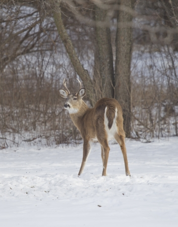 white tail deer: A three point Whitetail Deer buck quartering away in the snow on Wisconsin winter day.
