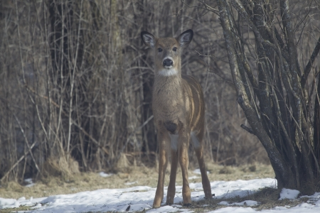 white tail deer: A Whitetail Deer doe fawn standing straight on in the snow on Wisconsin winter day.