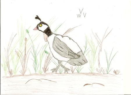 CODORNIZ: Dibujo de niño de una codorniz con lápiz de color que muestra una imagen del pájaro bonito. Foto de archivo