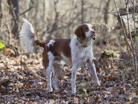 the brown and white Brittany Spaniel dog standing at attention in the woods.