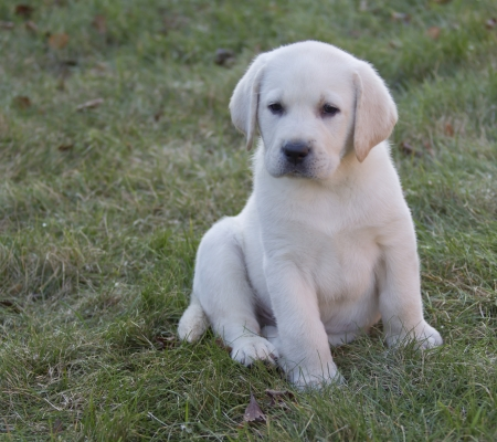 Rudy the Tiny Yellow Seven Week old Yellow Labrador Puppy sitting in the grass photo