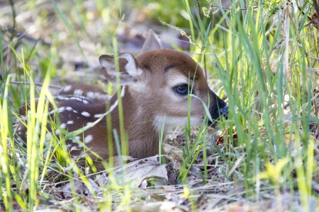 A tiny whitetail deer fawn only a couple of days old hiding in the grass on the edge of a forest. Stock Photo