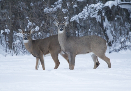white tail deer: Two Whitetail Deer Bucks standing side by side in the snowy winter wooded landscape.