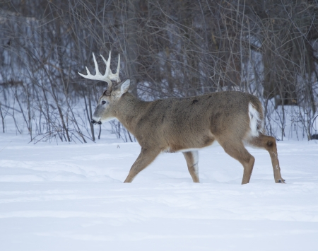 buck: A huge Ten Point whitetail deer buck walking in the winter snow on a cold Wisconsin day. Stock Photo