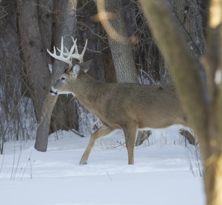 A huge Ten Point whitetail deer buck walking from behind a tree in the winter snow on a cold Wisconsin day. Stok Fotoğraf