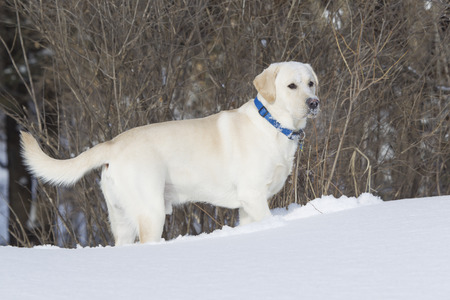 rudy: Rudy the Yellow lab standing in snow with face full of snow