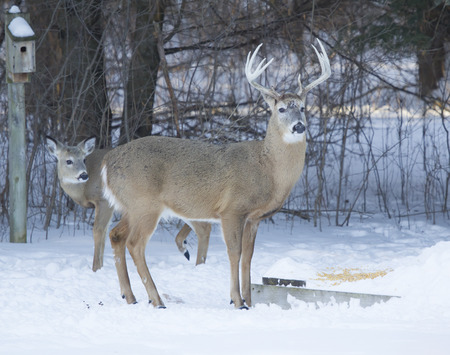 A huge Whitetail deer Big Ten Point buck and Doe eating corn in the cold winter. photo