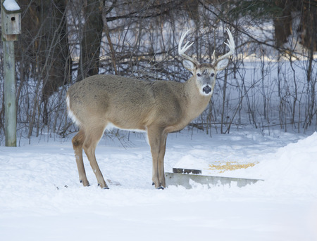 white tail deer: A huge Whitetail deer Big Ten Point buck eating corn in the cold winter. Stock Photo