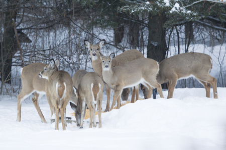bunched: Huge group of Whitetail Deer Does all bunched together eating corn. Stock Photo