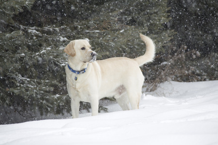 Rudy the Yellow lab standing in falling snow with face full of snow photo