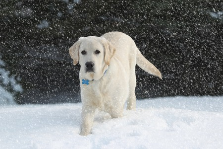 rudy: Rudy the Yellow Labrador Retriever walking in the heavy winter in the falling Snow Stock Photo