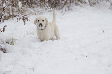 rudy: Rudy the Tiny Yellow Lab Puppy in Snow with his tail on point. Stock Photo