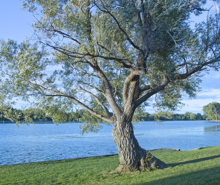 Old Twisted Tree on the edge of Lake Winnebago in Wisconsin.