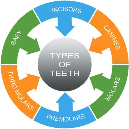 molares: Tipos de dientes Palabra Círculos concepto con grandes términos como los incisivos, caninos, molares y más. Foto de archivo