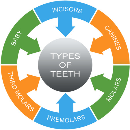molars: Types of Teeth Word Circles Concept with great terms such as incisors, canines, molars and more.