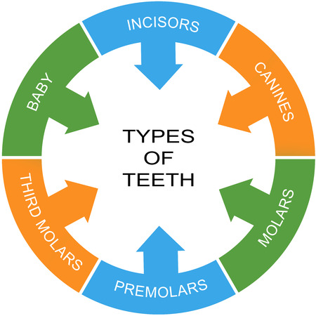 molares: Tipos de dientes Palabra Concepto círculo con grandes términos como los incisivos, caninos, molares y más. Foto de archivo