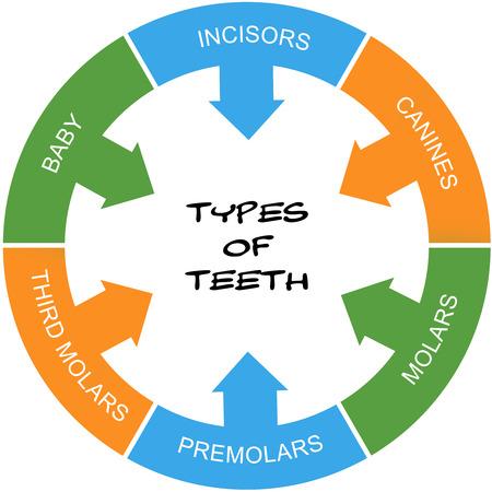 molares: Tipos de dientes Palabra Concepto círculo garabateado con términos como los incisivos, caninos, molares y más.