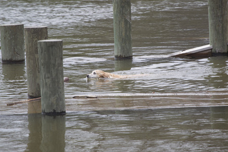 An Old Yellow Lab swimming to retrieve a dummy in the lake water.