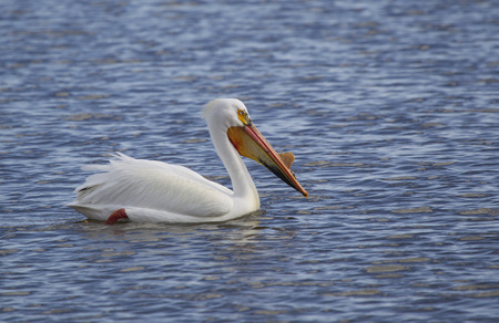 An American White Pelican Close up on Lake Winnebago in Wisconsin. photo