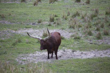 Ankole - Watusi cattle brown standing in the dirt with huge horns. Imagens