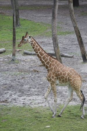Tall Giraffe walking through the trees with classic pattern and long neck.