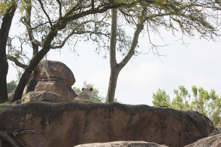 Rear view of Lioness laying on rocks overlooking below