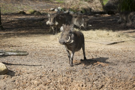 African warthog looking at camera with more warthogs in the background
