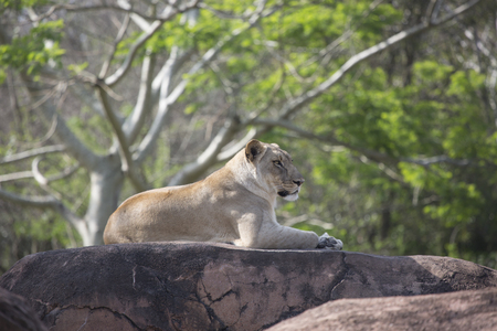 Lioness laying on rocks overlooking below Imagens