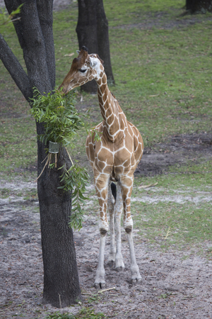 Giraffe eating branches placed on tree