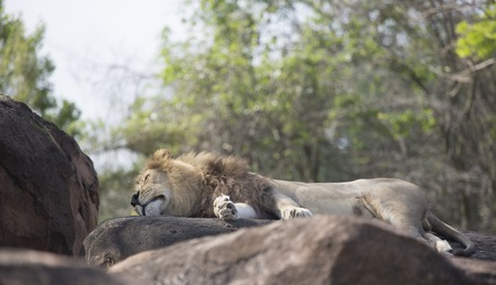 Close up of a Male Lion sleeping on rocks Imagens