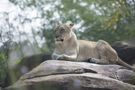 Rear view of Lioness laying on rocks during the hot summer day Imagens
