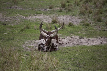 Two Ankole - Watusi cattle brown and white laying down in the dirt with huge horns.