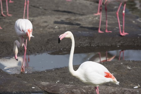 Flamingo close up with others in background Imagens