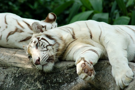 White tiger on a rock in zoo photo