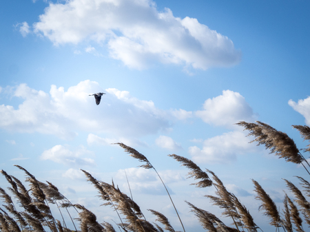 Stork flying in blue sky with reed in foreground Stock Photo