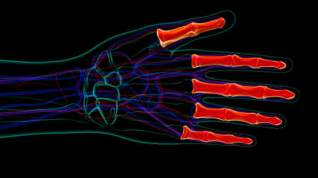 Human Skeleton Hand Phalanges Bone Anatomy For Medical Concept 3D Illustration