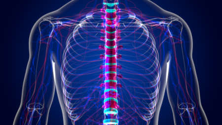 Human Skeleton Vertebral Column Thoracic Vertebrae Anatomy 3D Illustration