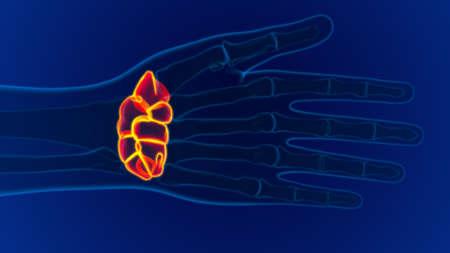 Human Skeleton Hand Wrist Carpals Bone Anatomy For Medical Concept 3D Illustration