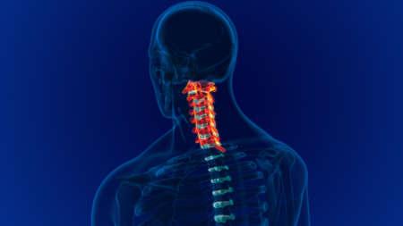 Human Skeleton Vertebral Column Cervical Vertebrae Anatomy 3D Illustration 版權商用圖片