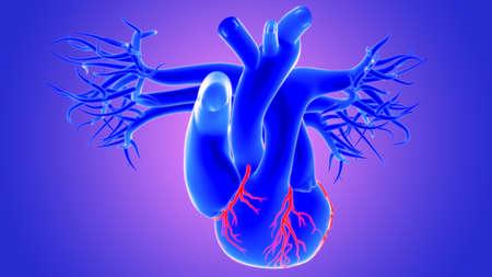 3d Illustration Human Heart Anatomy (Coronary Arteries)