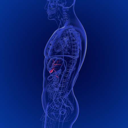 3D Illustration of Human Gallbladder Anatomy 3D Rendering For Medical Concept 版權商用圖片