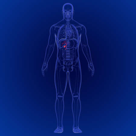3D Illustration of Human Gallbladder Anatomy 3D Rendering For Medical Concept