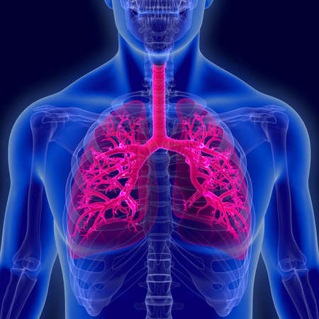 Humans have two lungs, a right lung and a left lung. They are situated within the thoracic cavity of the chest. The right lung is bigger than the left.