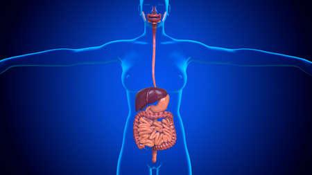 3D Illustration Human Digestive System Anatomy For Medical Concept Stockfoto