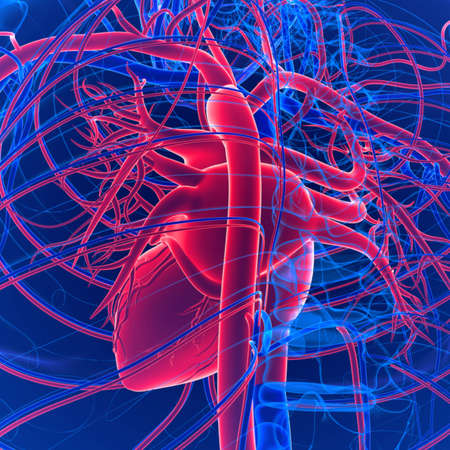 Circulatory system is composed of the heart, arteries, capillaries, and veins. This remarkable system transports oxygenated blood from the lungs and heart throughout the body via the arteries.
