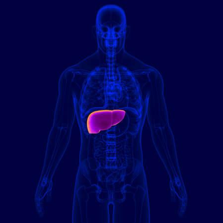 3D Illustration Human Digestive System Anatomy (Liver) For Medical Concept